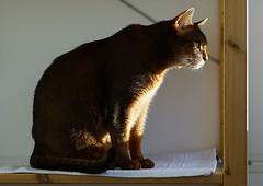 Sunrise (DizzieMizzieLizzie) Tags: portrait beautiful cat wonderful chats feline sony lizzie gato siesta meow katze abyssinian gatto katzen kot katt aby pisica mirrorless a7m2 dizziemizzielizzie