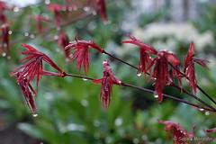 After the Rain - Der Morgen nach dem Regen (Sockenhummel) Tags: rot leaves wasser fuji finepix fujifilm bltter regen x30 wassertropfen nass regentropfen aprilwetter inunseremhof fujix30