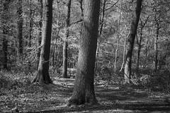 Sharrards Wood WGC Mono - April 2016 (GOR44Photographic@Gmail.com) Tags: wood trees bw tree mono woods fujifilm wgc 35mmf14 xpro1 sherrards gor44