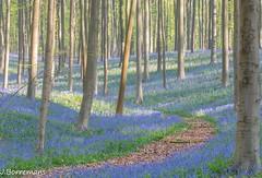 The road ahead (borremans15) Tags: plant flower nature canon landscape spring woods belgium belgie outdoor natuur flowerbed serene bos lente 70200 hyacinten halle hyacinth 1022 landschap hallerbos hyacint