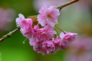10160- Cerisier du Japon...