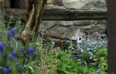 maisonnette (bulbocode909) Tags: nature fleurs vert bleu printemps jardins maisonnettes