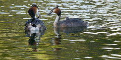Getting vocal (jump for joy2010) Tags: uk england water birds private breeding april chicks stripey parenting highbridge 2016 greatcrestedgrebe behaviour podicepscristatus humbugs walrowfishingponds