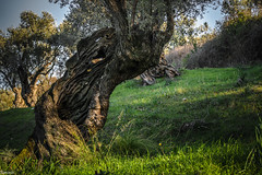 Observing one more spring (Siminis) Tags: life nature spring power aegean olive greece environment perennial olivetree olivetrees mytilene aegeansea poweroflife siminis oliveorchards museumoftheophilos