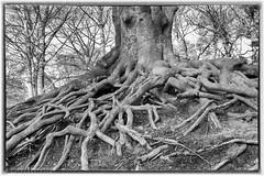 old tree (buntehof) Tags: tree boom beech beuk wortels heuveltjesbos