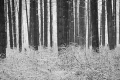 First Snow (reclaimednj) Tags: winter blackandwhite white snow monochrome forest woods nj minus whitepine 2016 bassriverstateforest burlingtoncounty bassrivertownship forestedhabitat
