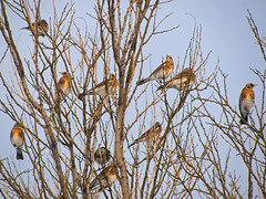 A flock of fieldfares (Turdus pilaris) stopping for a break during winter migration. (Tanya Mass) Tags: birds turduspilaris fieldfares wintermigration aflockoffieldfares
