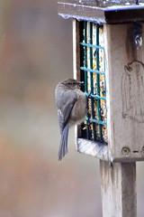 Flock of American bushtits-002 (fyberduck) Tags: winter oregon portland birdfeeder psaltriparusminimus americanbushtit