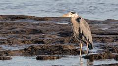 Graureiher (Grey Heron) (oliver_hb) Tags: bremerhaven vogel reiher graureiher luneplate