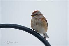 American Tree Sparrow (Jeannot7) Tags: ontario bird backyard sparrow americantreesparrow spizellaarborea birdwatcher cobourg