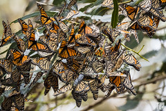 Monarch Butterflies 037A1254 (lycheng99) Tags: california trees leaves animal animals butterfly insect branch wildlife branches clusters butterflies insects monarch pismobeach pacificcoast groups californiacoast talltrees monarchbutterflies monarchgrove alamedaphotographysociety 2016sansimeon thepismobeachmonarchbutterflygrove