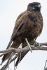 Black Falcon (Falco subniger) - Mount Molloy (Billharrisphotos) Tags: queensland avian locations sundry mountmolloy blackfalconfalcosubniger