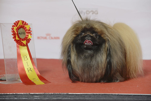 PEKINGESE, C.I.B. CZ CH DK JV-12 HR CH NO UCH NORD JV-12 SE UCH El'Mambee's Save My Love