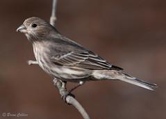 Female House Finch (bmcvisions) Tags: outdoors nikon wildlife birding audubon d300 nikon300mm