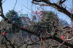 Red plum blossoms (shinichiro*@OSAKA) Tags: winter flower japan january osaka crazyshin 大阪城 osakacastle plumblossoms 2016 紅梅 plumgrove 梅林 天守閣 redplumblossoms sd1m sigma1770mmf284dcmacrohsm sigmasd1merrill 20160114sdim1010