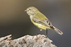 Weebill 2016-01-05 (_MG_7819) (ajhaysom) Tags: australia melbourne australianbirds greenvale weebill smicrornisbrevirostris canoneos60d sigma150600 woodlandshistoricpark image13100 100xthe2016edition 100x2016