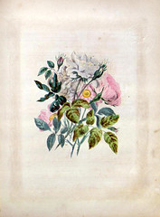mobot31753000437357_0119_jedit (Mann Library) Tags: illustration rarebooks specialcollections posey mannlibrary floriculture languageofflowers cornelluniversitylibrary