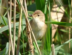 Reed Warbler (Peanut1371) Tags: brown white bird reeds warbler reedwarbler nationalgeographicwildlife