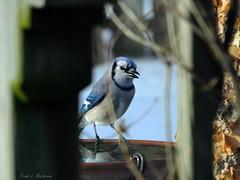 "Blue Jay at the Birdbath (""Just an ol' nature boy takin' a picture"") Tags: blue winter snow bird water animal river birdbath jay trumpet vine arbor heater fujifilm birch honeysuckle pergola xs1"