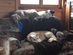 The farm dogs chilling