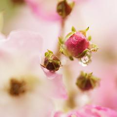 Love rules? (De Rode Olifant) Tags: love rose rule loverules macromondays