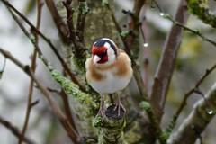 Chardonneret lgant - Carduelis carduelis (Vincent Prdm) Tags: oiseau cardueliscarduelis carduelis lgant chardonneret chardonneretlgant