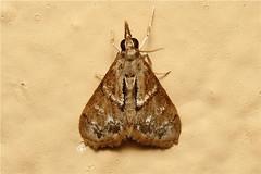 Crambidae (Moth sp.) - South Africa (Nick Dean1) Tags: insect southafrica moth lepidoptera animalia arthropoda krugernationalpark insecta lowersabie hexapoda crambidae