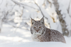 Focus on the snow (nemi1968) Tags: trees winter light portrait sunlight snow closeup cat canon snowflakes cub eyes bokeh ears stare snowing 7monthsold gaze lynx winterlight gaupe langedrag markiii catfamily eurasianlynx specanimal canon5dmarkiii ef70200mmf28lisiiusm eartufs