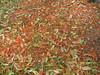 starr-120606-9534-Castanospermum_australe-flowers_on_ground-Kahanu_Gardens_Hana-Maui (Starr Environmental) Tags: castanospermumaustrale