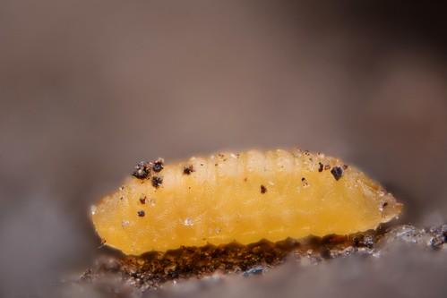 Dasineura brassicae larva