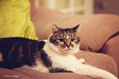 The Stare (Ali Ly) Tags: night cat fur eyes indoor sofa stare snarl