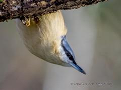 Nuthatch 11/02/16 (johnatkins2008) Tags: camera woodland woods birdwatching ferrymeadows gardenbirds wildbirds nenepark woodlandbirds birdphotography nuthatches johnatkins2008