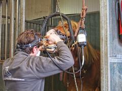 P1290048 (gill4kleuren - 11 ml views) Tags: horse sarah bezoek dentist haflinger tandarts anisia