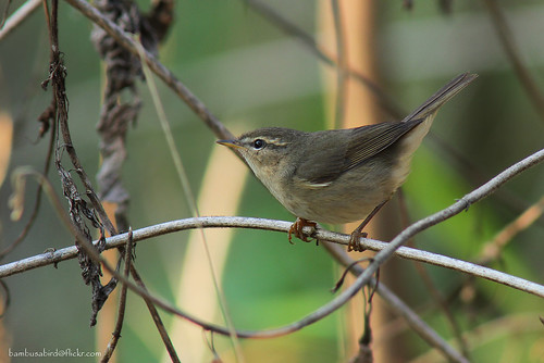 นกกระจื๊ดสีตล้ำ / Dusky Warbler / Phylloscopus fuscatus