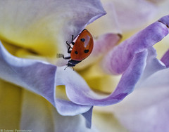 Balancing Act [1600] (mjardeen) Tags: motion flower texture rose canon bug insect 50mm washington patterns tube ladybug wa balance tacoma extension f18 delicate 18mm mk1 nikcolorefex