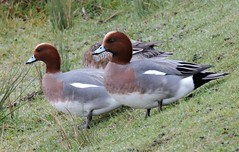 Wigeons (Deanne Wildsmith) Tags: