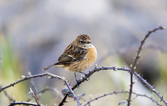 Stonechat (female) (explored) (wayne.withers1970) Tags: