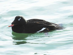 Adult Male White-winged Scoter (Melanitta fusca) (Nature In a Snap) Tags: bird nature point wildlife jetty birding nj coastal inlet diver birdwatching fusca whitewinged 2016 manasquan scoter melanitta ppb seaduck