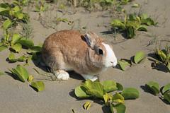 (ina070) Tags: sea rabbit green beach animals canon 50mm leaf      6d      zhuwei        canon6d