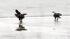 Stand off...... (TKovener) Tags: lake fish over bald indiana fighting eagles mississinewa