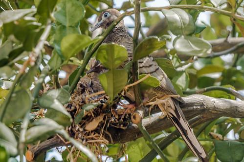 Zebra Dove on the nest with baby birds