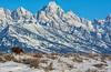 Moose Wanders in Front of the Mighty Teton Mountains (Happy Photographer) Tags: winter snow moose february grandtetonnationalpark gtnp amyhudechek