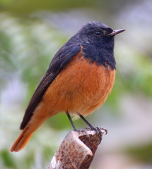 Black redstart (shantanu.mkj10) Tags: red sky india black green bird canon delhi tamron redstart