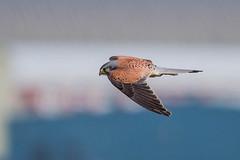 DSC_7821-Edit.jpg (Lee532) Tags: life uk wild bird nikon wildlife raptor prey tamron avian kestrel d610 150600mm