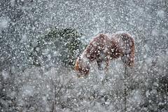 Icelandic horse foraging in the snow (m. geven) Tags: winter snow animal mammal heather sneeuw nederland pony veluwezoom posbank paard natuurmonumenten koud gelderland nld beheer zoogdier gaspeldoorn vlokken sneeuwbui natuurbeheer natura2000 struikhei begrazing gemeenterheden grotegrazer npdeveluwezoom vegetatiebeheer