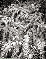 Bordeaux Ferns (mjardeen) Tags: blackandwhite bw plants white black texture landscape ir pattern sony 28mm infrared converted f2 fe ferns 282 720nm lifepixel landscapesshotinportraitformat niksilverefex