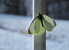 Cabbage White Butterfly - Sunday Morning (ParkerRiverKid) Tags: butterfly cabbagewhite scavenger7 ansh68