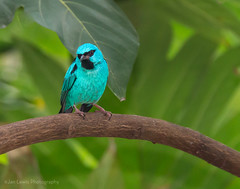 Blue Dacnis (Project...365) Tags: bird turquoise conservatory meijergardens tropical tanager bluedacnis turquoisehoneycreeper