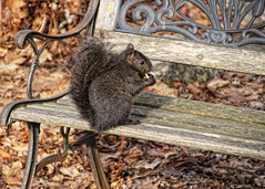 A New Backyard Friend...Theodore (Explored 2/25/16) (LotusMoon Photography) Tags: nature animal backyard squirrel outdoor wildlife