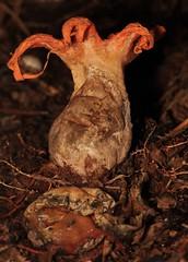 IMG_0326 (2) (Roving_photographer) Tags: newzealand orange forest bush fungus octopus northland champignon stinkhorn kaeo clathrus maungataniwha otangaroa
